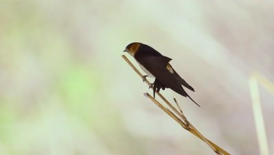Male Red-rumped Swallow wing stretch.