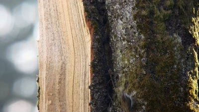 Eurasian treecreeper building a nest