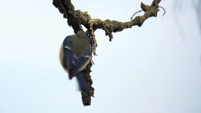 Eurasian blue tit slow motion in search of food