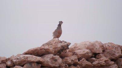 Barbary partridge Fuertaventura