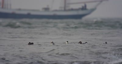 Common eider feeding whilst boat passes in the back ground
