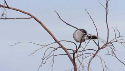 Canary islands grey shrike