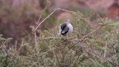 Canary Islands Grey Shrike in srub