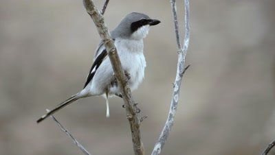 Canary Island Grey Shrike close up