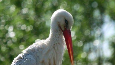 White stork with bokeh through the trees
