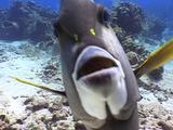 Friendly Gray Angelfish Pokes Camera
