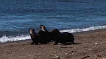 Sea Lions Pups Crossing The Beach Avoid Be Hunting By Orcas