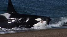Orca Whale Stranding And Hunting Sea Lions Pups
