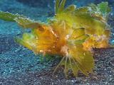 Ambon Scorpionfish Turning & Walking
