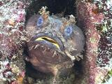 Toadfish Breathing
