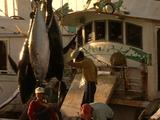 Offloading Of Longliner Fishing Boat (Tuna and Swordfish)