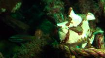 White Clown Anglerfish Walks On Rope And Turns, With Cardinal Fish