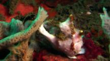 White Clown Anglerfish Sits On Coral, With Lure