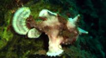 White Clown Anglerfish Walks On Coral With Bait