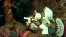 White Clown Anglerfish Jumps And Walks Down On Reef