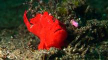 Red Painted Anglerfish Sits On Sand, With Skeleton Shrimps