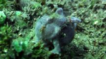 Grey Painted Anglerfish Walks On Reef, With Skeleton Shrimps