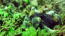 Grey Painted Anglerfish Walks On Reef, With Skeleton Shrimps, Detailed Structure