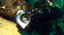 Black Giant Anglerfish Sits In Front Of Debris, Opens Mouth