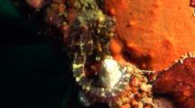 Brown Seahorse On Tire Reef