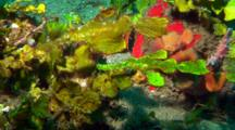 Yellow And Green Robust Ghostpipefish Rest On Corals