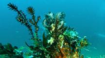 4 Black Ornate Ghosepipefish Hide In Featherstar
