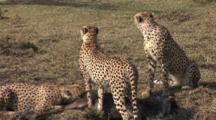 Cheetahs Eating Wildebeest