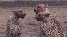 Cheetahs With Bloody Muzzles After Kill And Eat