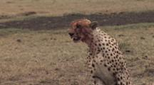 Cheetahs With Bloody Muzzle After Feeding