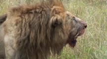 Lion With Bloody Muzzle After Kill