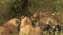 Lions Begin To Eat Fresh Kill