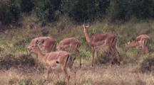 Thompson Gazelle Herd Eating