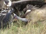 Vultures in Africa