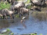 African Animal Migration of Zebra and Wildebeest