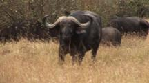 Herd Of Cape Buffalo In Grass, One Approaches Aggressively
