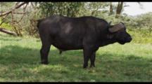 Cape Buffalo In Green Grass