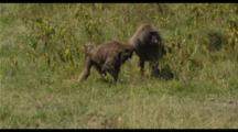 Baboon Pair Feeding And Mating