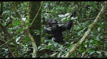 Chimpanzee On Forest Floor