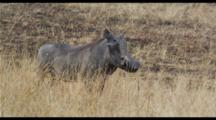Warthog In Tall Grass