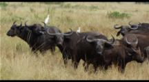 Cape Buffalo In Grass