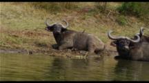 Cape Buffalo In Water