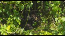 Mountain Gorillas In Foliage
