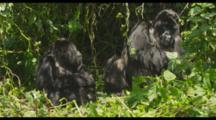 Mountain Gorillas In Foliage