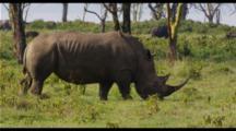 Black Rhino Feeding In Green Grass