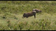 Warthogs Feeding In Green Grass