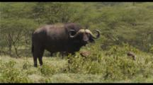 Cape Buffalo Feeding In Green Grass