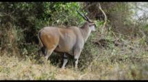 Eland In Ngorngoro Crater