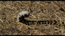 Leopard Tail Zoomback