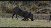 Warthogs Feeding In Green Grass