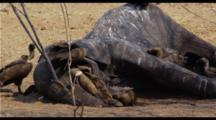 Vultures Feeding On Dead Elephant
